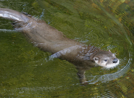 Otter at the Central Park Zoo